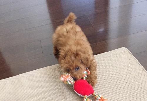 おもちゃを引っ張る犬
