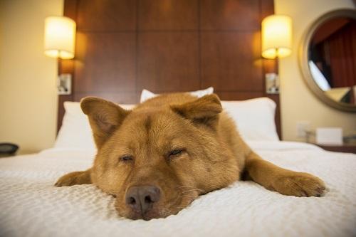 ベッドで寝る犬
