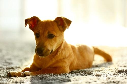 耳が病気の犬