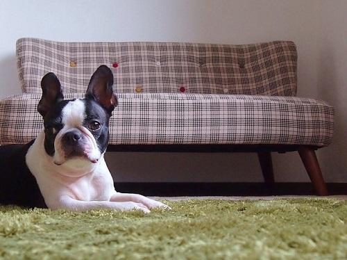 ソファの前にいる犬