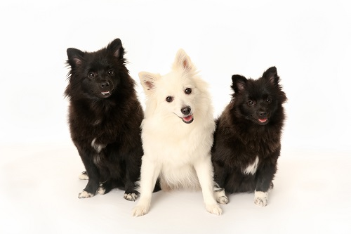 雄犬の多頭飼い