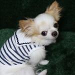 洋服を着る犬