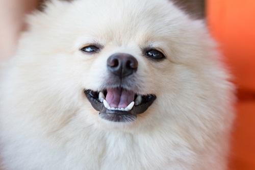 歯を見せる犬
