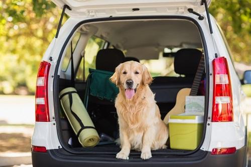 車にのる犬