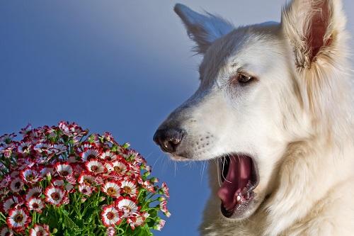 花アレルギーの犬