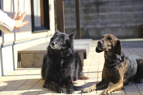 指示を待つ犬