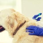 犬に注射する