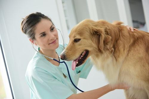 犬を見る獣医