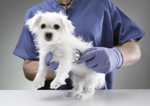 獣医と白い犬