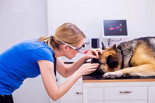 犬の耳を診察する医師
