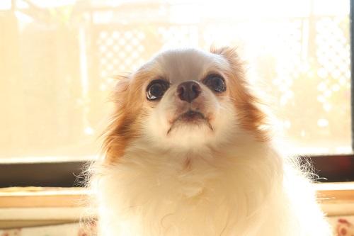 痴ほう症の犬