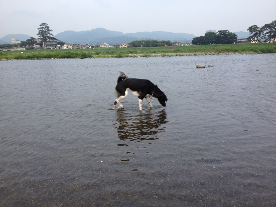 犬が水遊び
