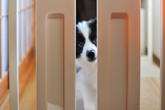 ドアからのぞく犬