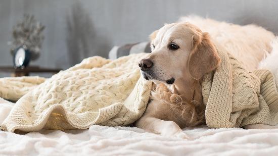 セーターをかぶる犬