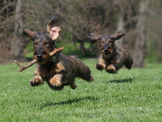 躍動感ある走りをする犬