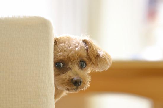 壁から顔を出す犬