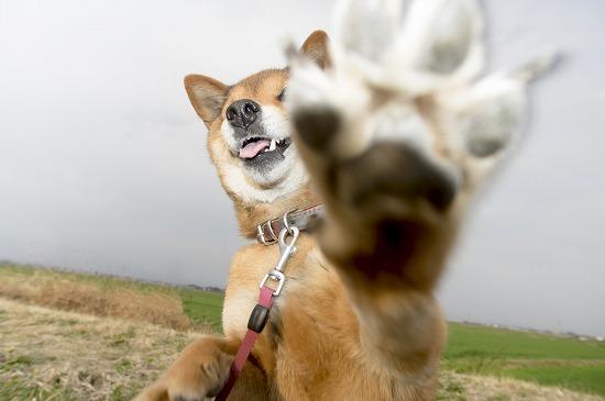 柴犬が手のひらを見せる